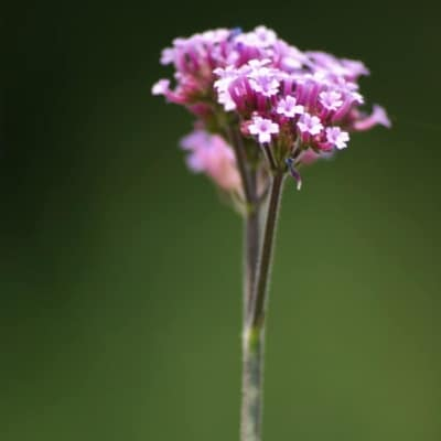 indian verbena lemongrass air freshener